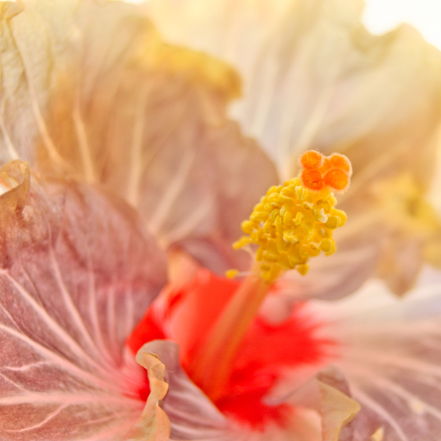 photograph of hibiscus from the south pacific