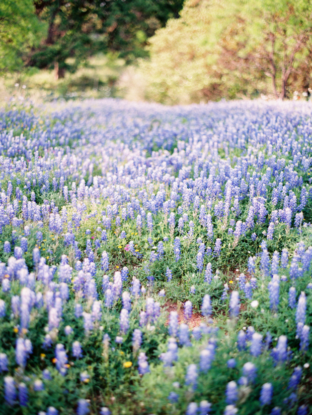 texas bluebonnets in the spring
