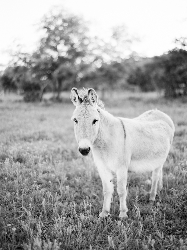 texas hill country donkey on film