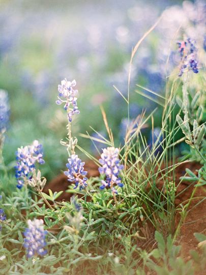 Bluebonnets Texas Hill Country